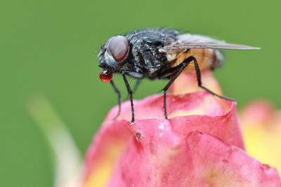 Black Fly on Flower