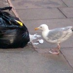 Sea Gull ripping open a Black rubbbish bag on a Dublin Street.